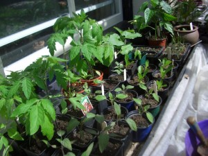 Seedling bench May 11