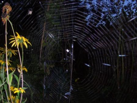 Garden spiders and webs web