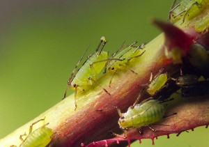 greenfly on roses by treklens