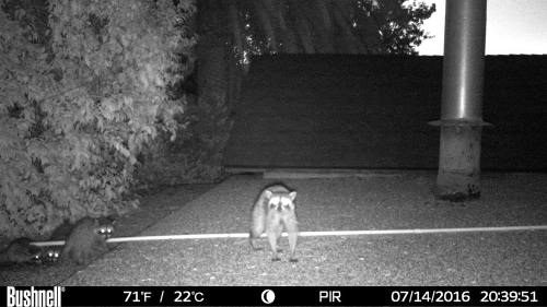raccoon night visitor