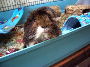 guinea pig Dylan