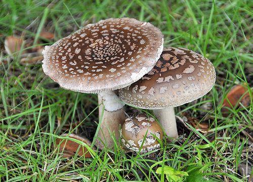 Blushers from The Mushroom Diary
