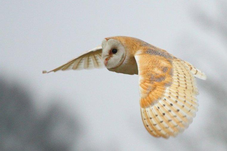 barn owl by Geoffrey Tibbenham NWT
