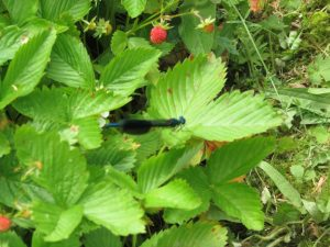 banded demoiselle on wild strawberry