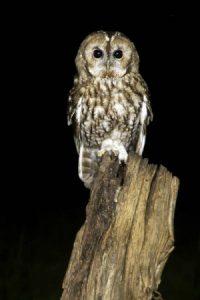tawny owl BTO