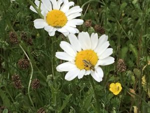 beetle on marguerite, comon buttercup in foreground