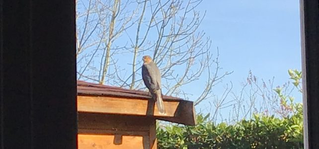 sparrowhawk from my office