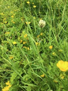 white clover and buttercup