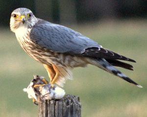 Merlin for my Balefire story