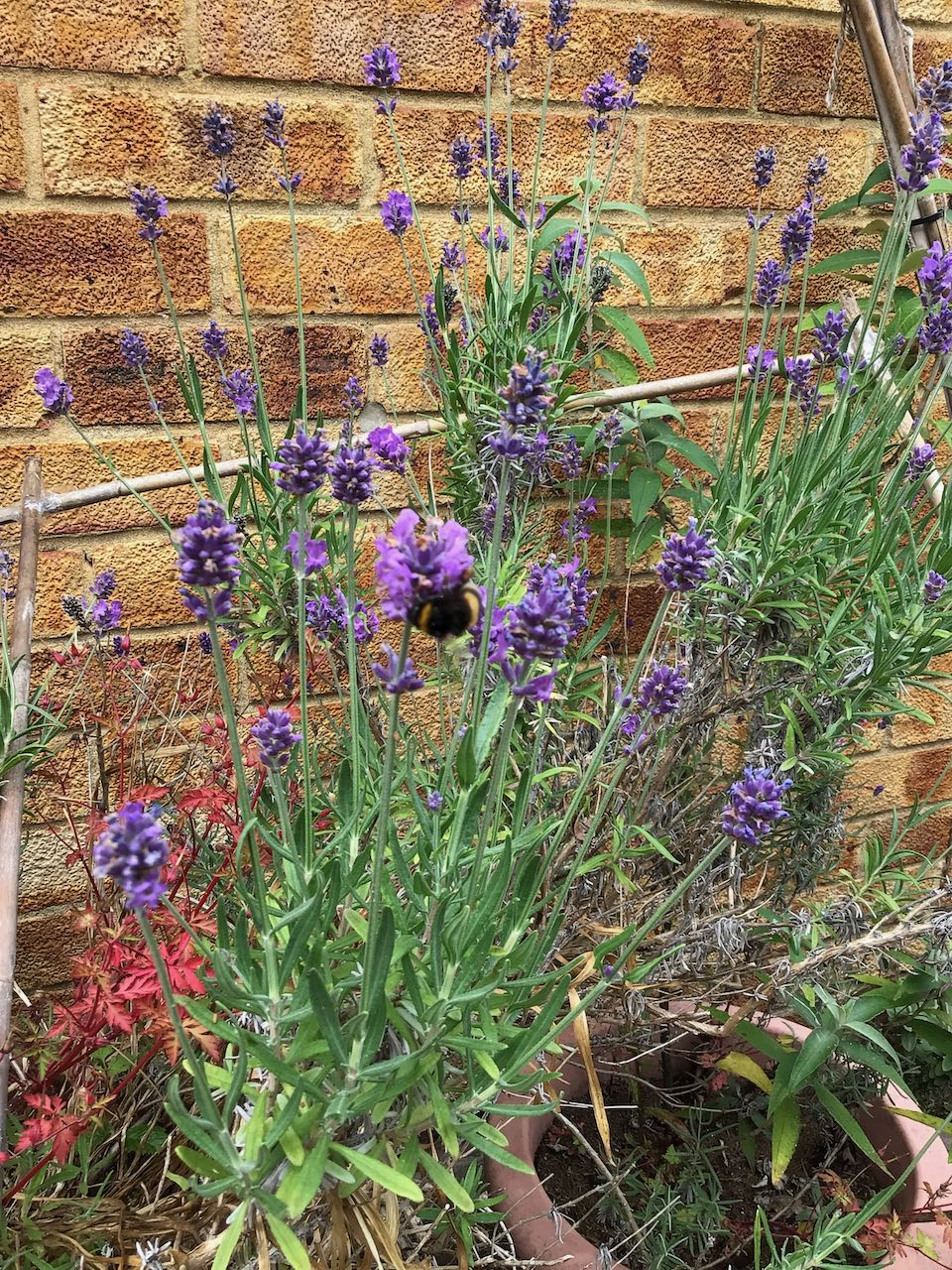 insect survey bumblebee-lavender