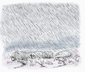 Three cavies struggle through wind and rain