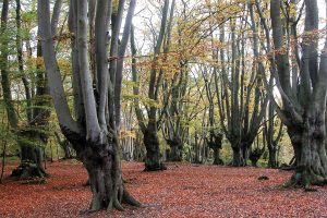 Pollarded hornbeams and beech