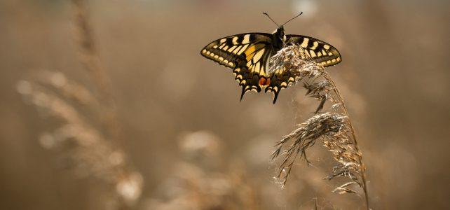 swallowtail at Lakenheath