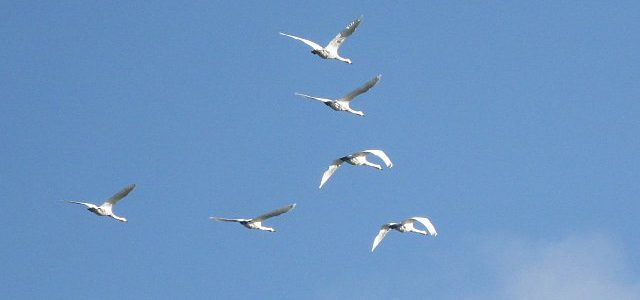six swans