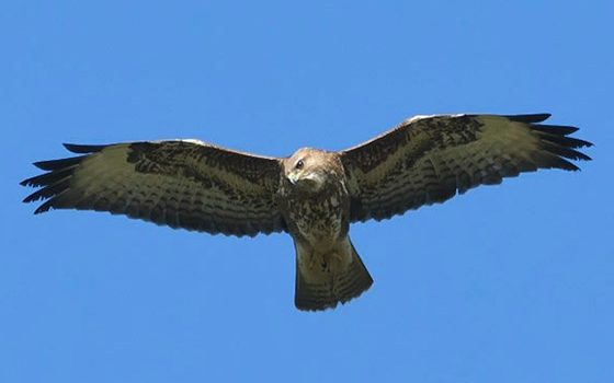 common buzzard northeastwildlife.co.uk