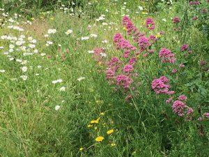 wildflower patch June 2019