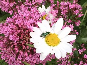 beetle on marguerite with valerian in background