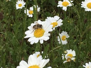 honey bee on marguerite