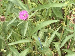 beetle on knapweed with azure damselfly below
