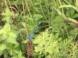 two azure damselflies