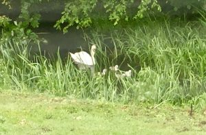 swan family bird detective