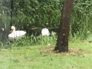 swans fledged bird detective