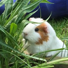 Princelings of the East books on #GuineaPigAppreciationDay