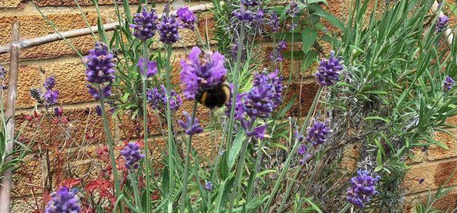 bumblebee on lavneder
